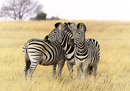 three zebras on green grass during daytime