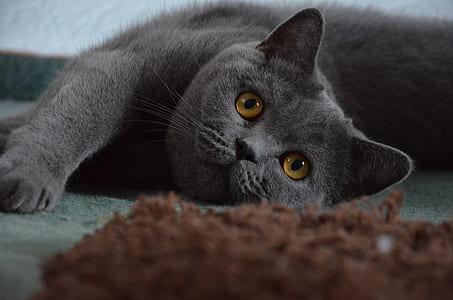 short-fur grey cat laying on floor