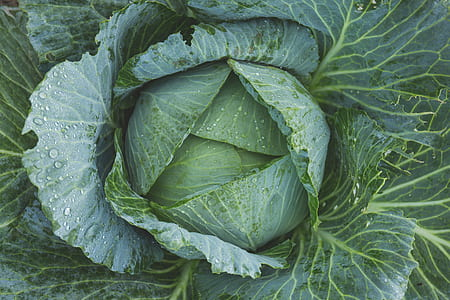 blooming cabbage