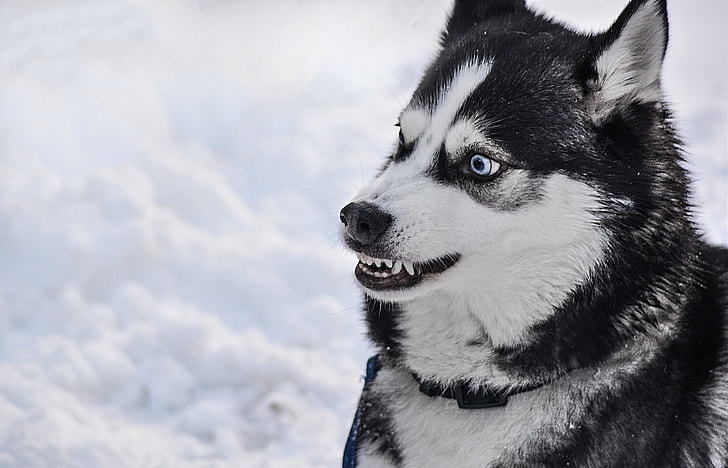Royalty Free Photo Photography Of White And Black Siberian Husky