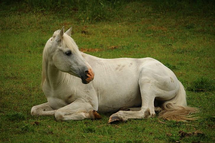 white horse lying on green grass