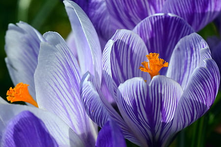 close-up of a purple crocus flowers