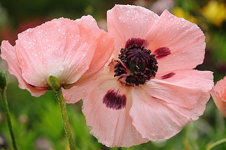 pink-and-maroon poppies in bloom