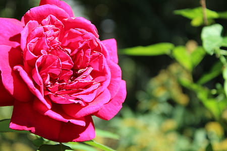 Shallow Focus of Pink Rose