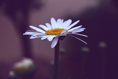 Photo of White and Yellow Daisy Flower