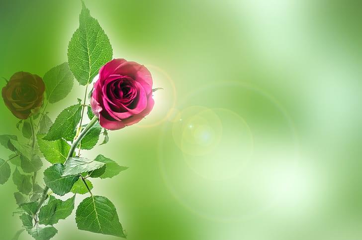 flower, flowers, rose, love, valentine' day, anniversary