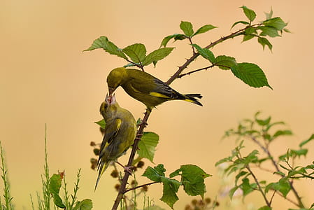 two green finches perched on branch