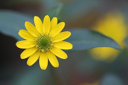 yellow single-petaled dahlia selective-focus photo