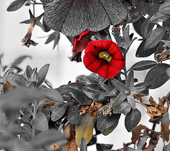 red nasturium flower in selective color photography