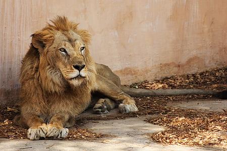 Lion lying on floor photo