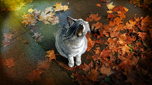 silver and black tabby cat with brown maple leaves