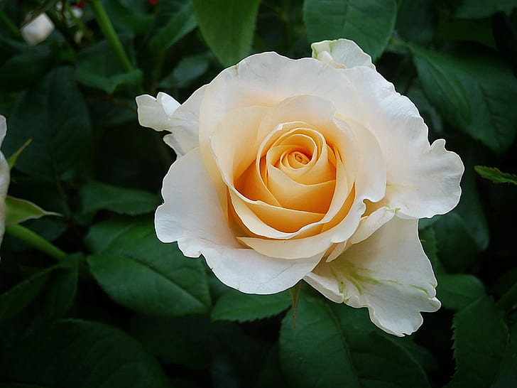 closeup photo of white and beige rose