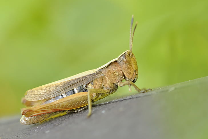 brown Eastern lubber grasshopper in close-up photography