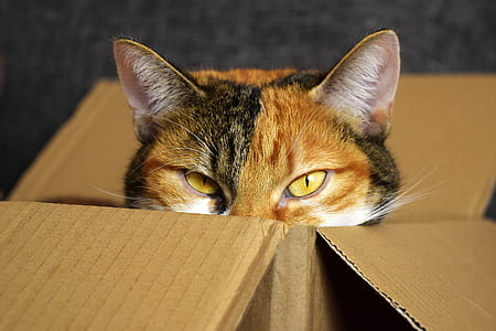 gray and black Calico cat on brown cardboard box