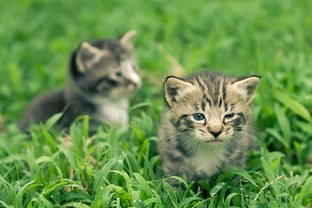 two black and grey tabby kittens on green grass field