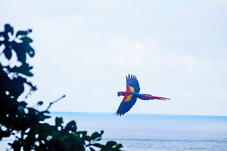 blue and red macaw hovering near tree and ocean