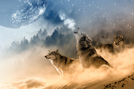 three gray wolves on snowy field