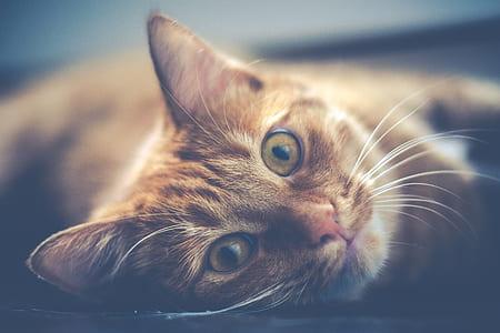 orange tabby cat lying photography