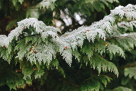 tree, foliage, green, snow, winter
