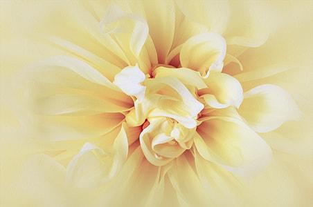 yellow dahlia in bloom macro photo