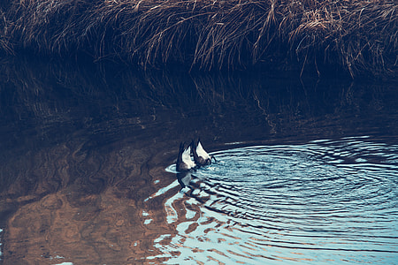 two white-and-black ducks on body of water photo during daytime