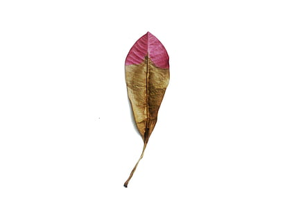 brown and pink dried leaf on white surface