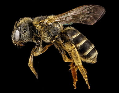 honeybee closeup photography
