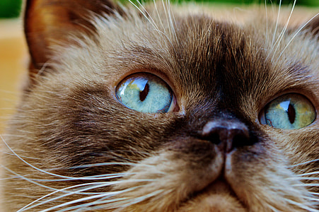 brown cat