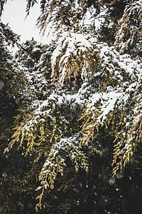 green pine trees covered of snow