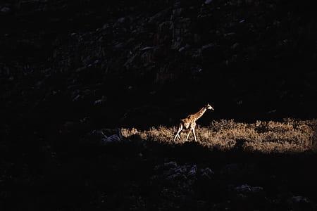 giraffe walking near mountain
