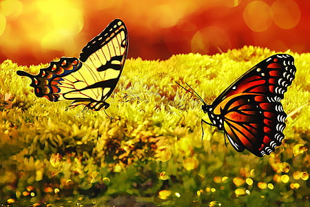 two yellow and brown butterflies