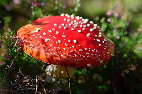 selective focus photography of red mushroom