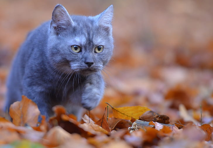 selective focus photography of Russian blue cat
