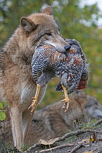 wildlife photography of gray wolf carrying chicken on his mouth