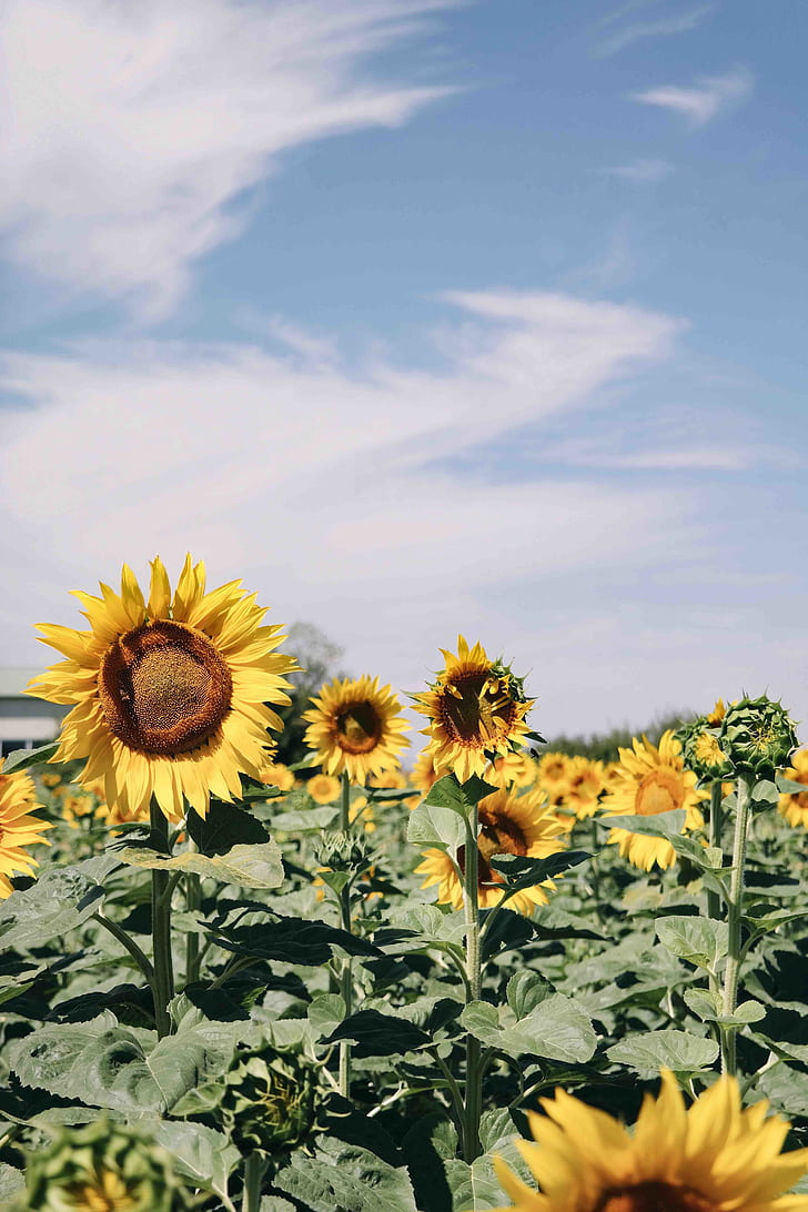 Royalty Free Photo Common Sunflowers Under White Sky Pickpik