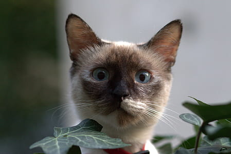 selective focus photography of Siamese cat