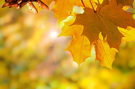 shallow focus photography of maple leaaf