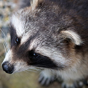 white and black raccoon close-up photo