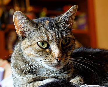 lying brown and black cat closeup photo