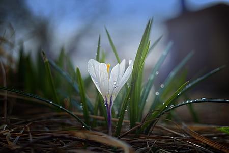 closeup photography of white saffron crocus with dewdrop