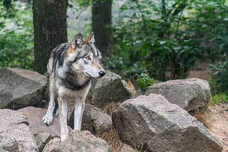 wolf near rocks