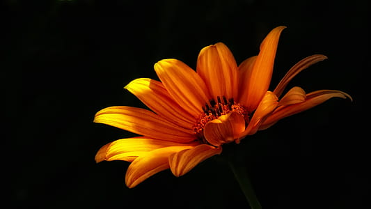 yellow daisy with black background