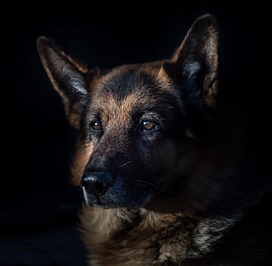 adult German shepherd