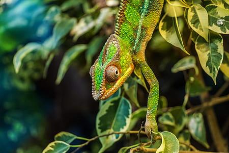 chameleon on leaf plant