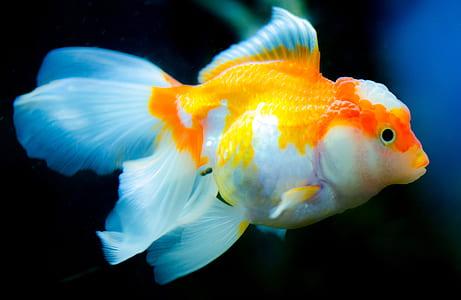 white and yellow betta fish
