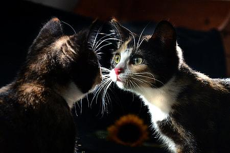 calico cat facing mirror