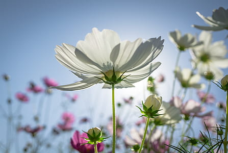 closeup photography of white cosmos flowers