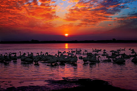 flock of swans on body of water during golden hour