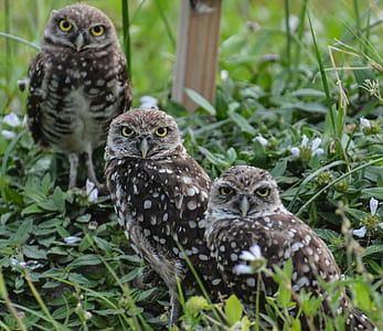three brown owls on grass
