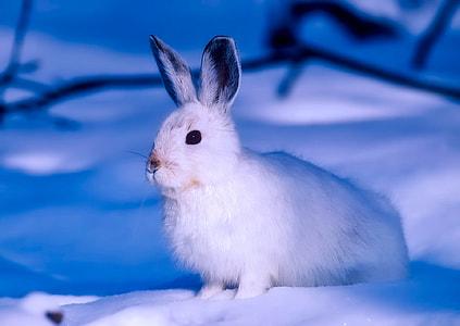 white rabbit on snow